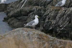 A Glaucous Winged Gull With Rock Art at Cattle Point