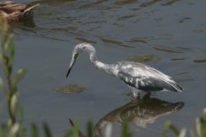Llittle Blue Heron