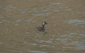 Juvenile Pied Billed Grebe