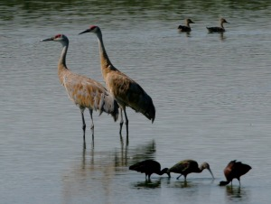 Sandhill Cranes and Ibis