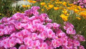 Two California Native Plants- Godetia and California Poppy