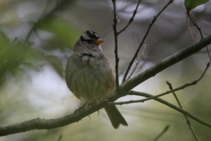 A Bird in the Botanical Garden Bush - White Crown Sparrow